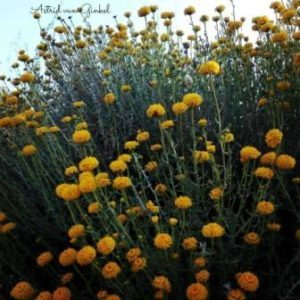 fitomon flors grogues blog