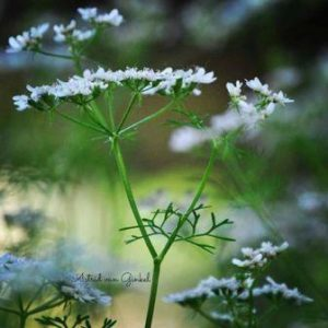 fitomon-coriandre-blog